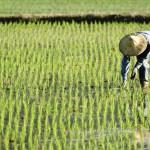 Riz : un gène pour mieux capter le phosphore du sol