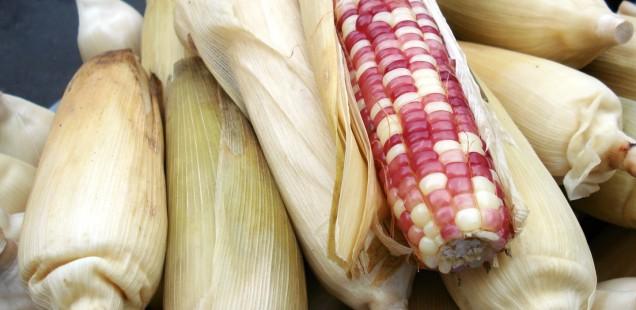 La France demande l'exclusion de 9 maïs OGM