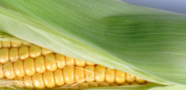 La Pologne s'apprête à interdire la culture d'OGM