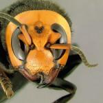 Le frelon asiatique inscrit dans la liste des dangers sanitaires de deuxième catégorie