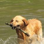 L'agriculture aurait favorisé la domestication du chien