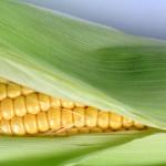 L'EFSA publie ses données sur le maïs OGM NK 603