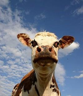 Les infrastructures de recherche sur les bovins embarquent en réseau européen !