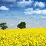 Le colza, la solution face aux sols contaminés en uranium ?