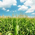 BASF : la recherche sur les résistances aux champignons se penche sur le maïs