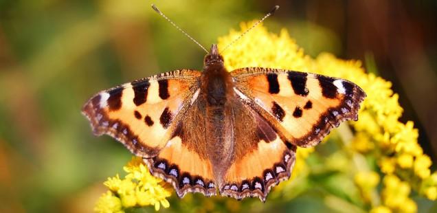 Découverte d'une phéromone sexuelle émise par le mâle du Papillon Palmivore, Paysandisia Archon.: de nouvelles perspectives de lutte intégrée