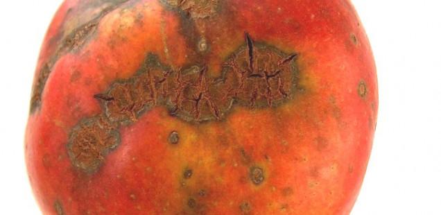 Pomme atteinte de tavelure