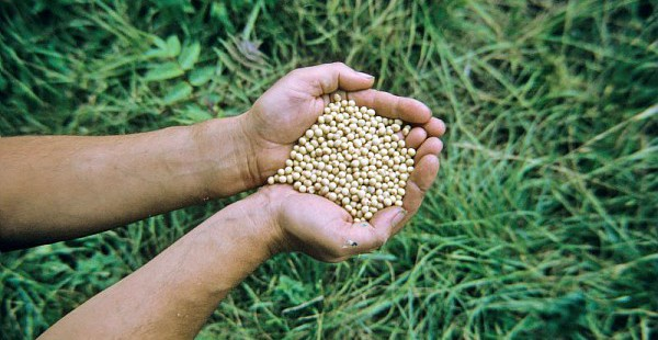 Graines de soja  Photo : Gnis