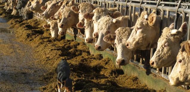 La kisspeptine C6, une alternative à l'utilisation d'hormones pour gérer la reproduction en élevage