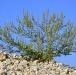 Ambroisie à feuilles d'armoise  Photo : Inra