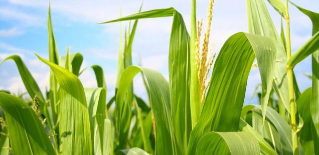 Pourquoi la dernière enquête du New York Times sur les OGM est sujette à caution !