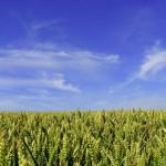 Les nouvelles techniques de sélection de mutagenèse classées dans les OGM !