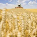 Blé : Qu'est-ce que le blé synthétique ?