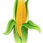 Culture maïs OGM: que peut faire Stéphane Le Foll?