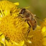 Insecticides et mauvais temps, de quoi faire perdre la tête à nos abeilles !