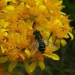 Un nouveau biopesticide à base de venin d'araignée ?