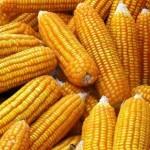 OGM : Un trentième pays autorise le choix des semences biotechnologiques !