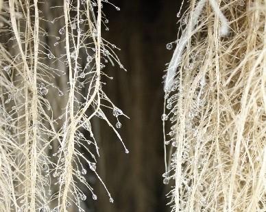 BASF s'intéresse au marché des «plantes à traire» !