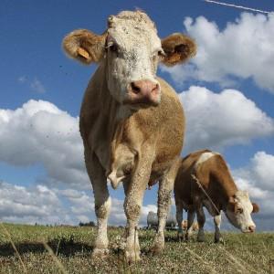 Une avancée dans la lutte contre les pneumonies humaines et bovines