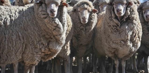Pour survivre, le virus de la fièvre catarrhale ovine détourne une fonction cellulaire de son hôte