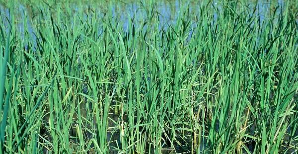 Un riz GM très nourrissant… et peu polluant !
