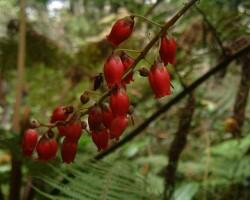 Agauria_salicifolia_0