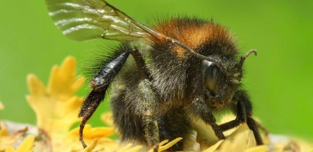 Augmenter le nombre d'insectes pollinisateurs pour améliorer les rendements agricoles ?