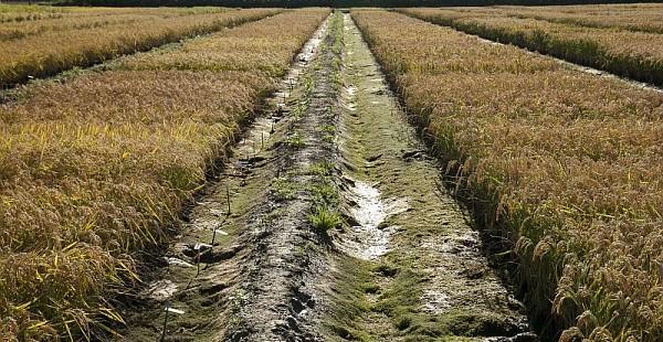 Que va permettre le séquençage du génome de 3 000 variétés de riz ?