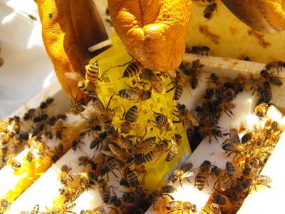 Déclin des abeilles : l'effet conjugué pesticide-parasite affecte aussi la survie des reines