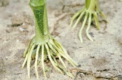 Comment les racines des plantes perçoivent les inondations et y répondent !