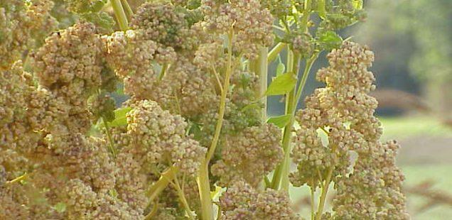 La séquençage du génome du quinoa pourrait permettre la généralisation de sa culture à travers le monde