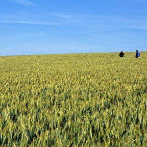 Le potentiel des céréales est-il déjà entamé pour la saison 2017 ?