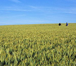 Le prix du blé tendre a chuté de presque 10% en 2016