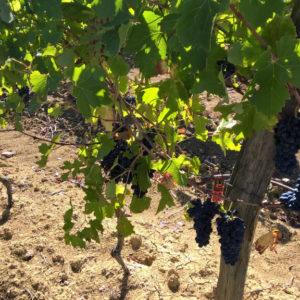 Dans quelle mesure la confusion sexuelle est-elle utilisée dans les vignes françaises ?