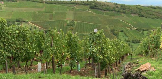 Lancement de quatre nouveaux cépages résistants aux maladies de la vignes