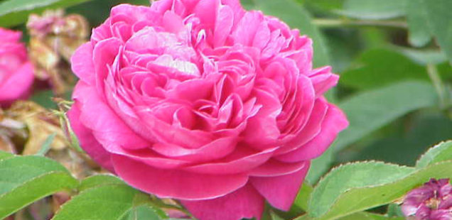 Le génome de la rose décrypté : de l'origine des rosiers modernes aux caractéristiques de la fleur