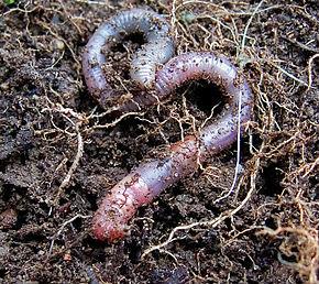 De l'intérêt d'écouter les «bruits» des ver de terre pour améliorer la compréhension des sols !
