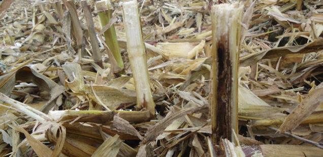 Arvalis alerte sur une extension des dégâts causés par la pyrale du maïs