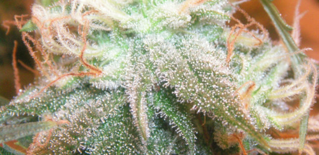 Cannabis : Une entreprise française observe une hausse de la demande de serres à l'international