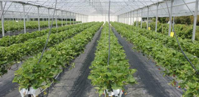 Un robot cueilleur de fraises séduit les investisseurs !