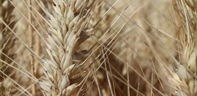 Le blé BPS Fantomas adoubé par les meuniers