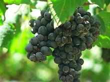 L'ADN de pépins de raisin de l'époque romaine sont très proche des cépages modernes !