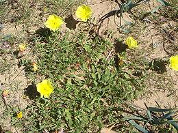 Les plantes optimisent naturellement leurs parades pollinisatrices
