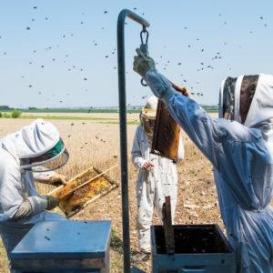 L'agriculture biologique améliore les performances des colonies d'abeilles mellifères