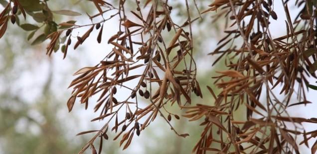 Des oliviers touchés par la bactérie Xylella fastidiosa en France