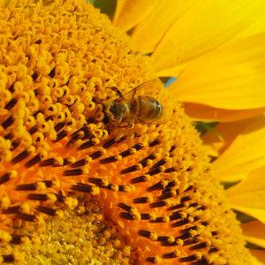 L'étude portant sur l'attractivité des variétés de tournesol vis-à-vis des abeilles livre son verdict !