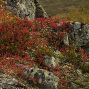 Les racines augmentent les émissions de carbone… du permafrost !