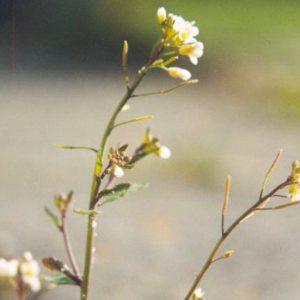 Résistance des plantes face aux maladies : une forme majeure de leur système immunitaire décryptée !