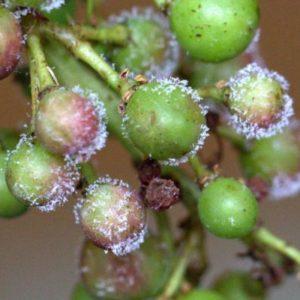 Mildiou de la vigne : identification du groupe de gènes impliqué dans la reproduction sexuée