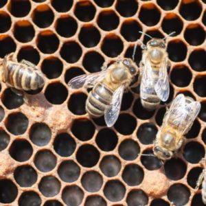 Les abeilles hygiéniques plus résistantes face à un redoutable parasite